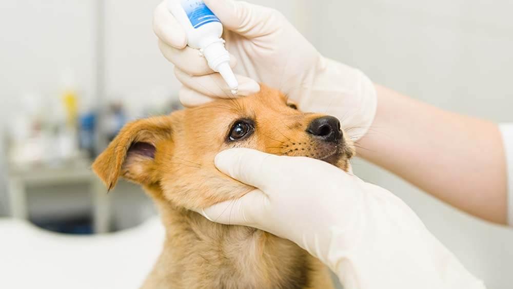 【独断禁止】犬の涙やけを治す正しい目薬法!ワンコに嫌がられないさし方とは