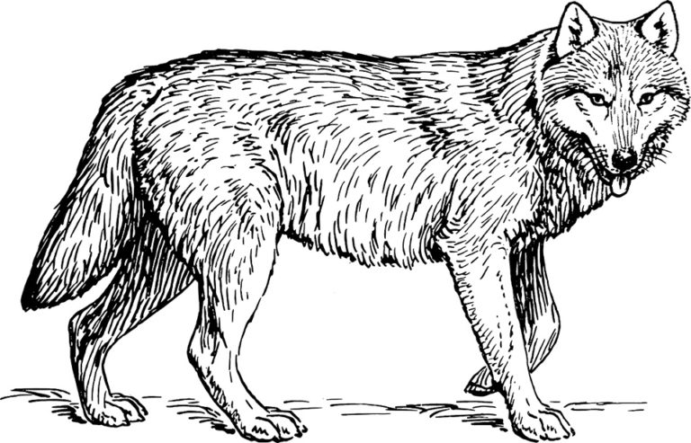 犬の祖先オオカミ