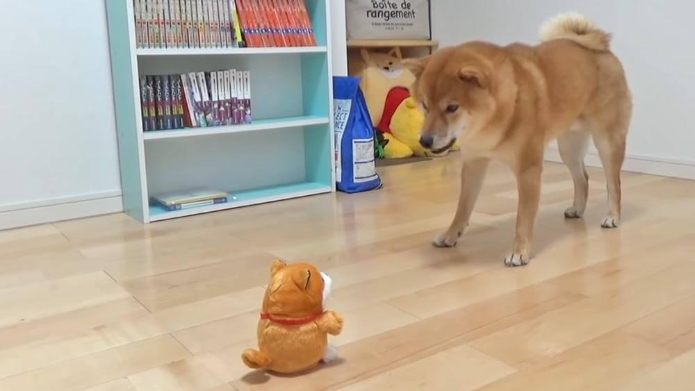 「次世代型柴犬まねっこ豆シバ」と「現代型よりめの柴犬」の対決!その結末は・・・